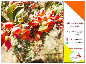 قیمت امروز زرشک - ۲۲ مهر ماه - ۱۴ اکتبر
